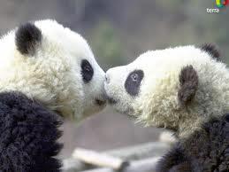 kissing pandas